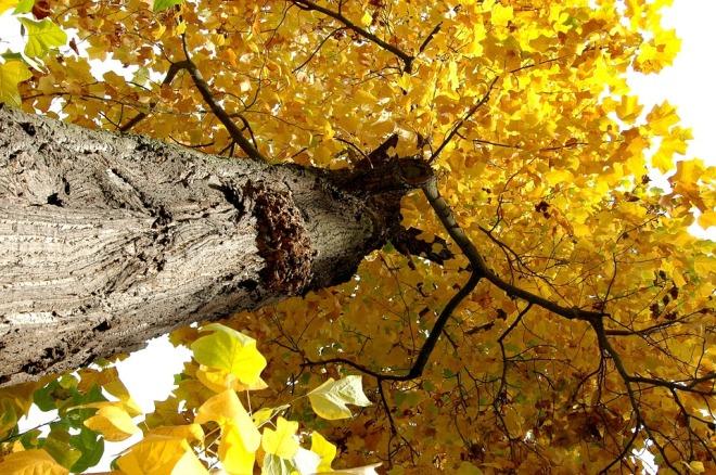 árbol hoja caduca